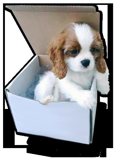 cavalier_in_scatola